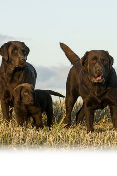 Dogs In Brown Labradorretriever Hunde Welpen Affen