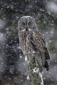 Waiting Out The Snow - Great Grey Owl