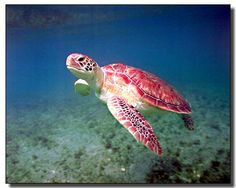 Turtle Green Sea Ocean Underwater Animal Art Print Poster (16x20)