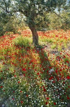 garten upcycling Image detail for -Greece, Peloponnese, poppies and tree Image detail for -Greece, Peloponnese, poppies and tree Beautiful Landscapes, Beautiful Gardens, Beautiful Flowers, Beautiful Places, Meadow Garden, Garden Picnic, Tree Garden, Nature Aesthetic, Aesthetic Girl