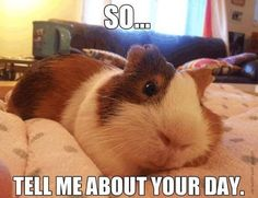 Tell me about your day... Guinea pig xx