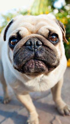 Cute Brown Pug Puppy iPhone Wallpaper HD