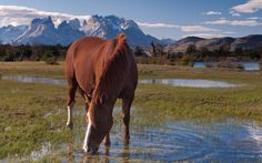 Thirsty. Horse drinking from the grassy puddle near Torres del Paine National Park, Patagonia, Chile.