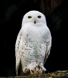 "white owl--taken from Today's ""Travel photos from around the world"" --credit Holly Bortstad, Saarbrucken, Germany"