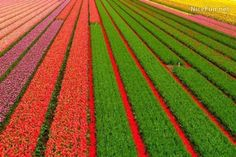Holland's tulip fields.