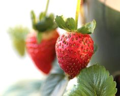 The best strawberries come from a garden.
