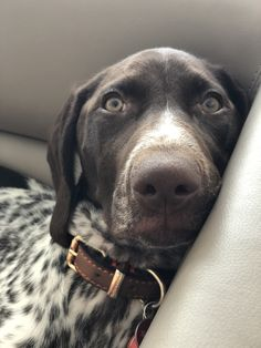 Cute Puppies, Cute Dogs, Dogs And Puppies, I Love Dogs, Puppy Love, Hungarian Dog, German Shorthaired Pointer, Pet Life, Animal Decor