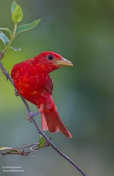Summer Tanager is the only entirely red bird in North America & inhabits…