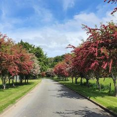 Excellent Flowering Hawthorn selection with dense green small maple-like foliage laden with clusters of striking scarlet-red rosette flower late spring. Will tolerate most soil conditions. Makes a handsome avenue or street tree as shown in this lovely planting at Donovan Park, Invercagill (photo taken this week) Cold hardy, deciduous, grows to 5–7m
