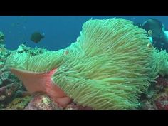 Great diving at a great resort. Saw many pygmy seahorses, mantas, dolphins and sharks, as well as pristine corals and reefs. Solomon Islands, Seahorses, Corals, Sharks, Dolphins, Underwater, Diving, Make It Yourself, Shark