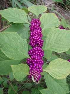 beauty berry | Common name: American Beautyberry