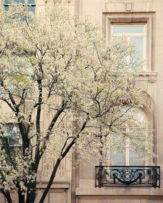 Сherry blossom