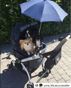 Mom went to the babystore and bought us a lovely matching sunshade! We had to strike a pose and she promised when the weather has Cooled doWn a littlebit we Will go for a walk! It is too hot now she says... 😅 #travel #transporation #ibiyaya #petstroller #jeans #denim #cavaliers #charlesspaniel #spaniel
