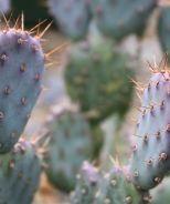 Baby Rita Prickly Pear (Opuntia basilaris hyb. 'Baby Rita') - Monrovia - Baby Rita Prickly Pear (Opuntia basilaris hyb. 'Baby Rita')