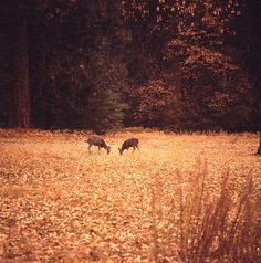 Deer in the fall.