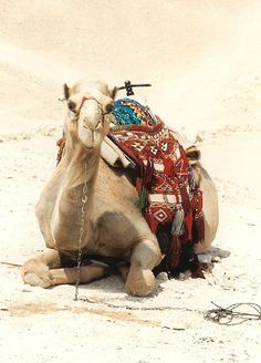 Saddled up and ready... my camel in the desert of Israel, the Negev by jungle mama, via Flickr