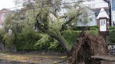 """Sandy Uprooted Trees by the Thousands in NY, NJ. Oct. 2012  Nearly 10,000 were lost in New York City alone, and """"thousands upon thousands"""" went down on Long Island, a state parks spokesman said. New Jersey utilities reported more than 113,000 destroyed or damaged trees."""