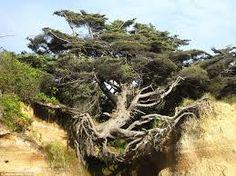 Resultado de imagem para árvores de australias