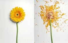 jon shireman [flowers dipped in a liquid nitrogen bath & smashed on a hard surface; link to series of photographs + www.jonshireman.com]