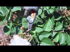 http://sensiblegardening.com How to Prune Lilacs: Learn how to properly prune your lilacs and understand why you should, if you want beautiful lilac bushes. ...