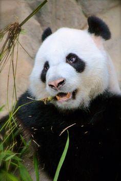 Start your Monday with a cute panda!  #panda #portrait #photography  #travelphoto  #bear  #animal  #Singapore  #zoo  #cute  #china  #monday #wildlife #wildlifephotopraphy