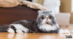 Atchoum, il gatto che sembra un cane IL PELOSO CHE HA INCURIOSITO IL WEB! #Iloveanimals #Ilovepets #cats #FbSocialPet