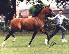 FS Bengali (Kubinec x Om el Sanadiva) A 1994 Arabian stallion who was the first German bred stallion to win U.S. Nation Champion stallion. He was also Scottsdale Champion Stallion as well as many other European titles.