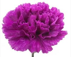 Evening - Standard Carnation - Carnations - Flowers by category | Sierra Flower Finder