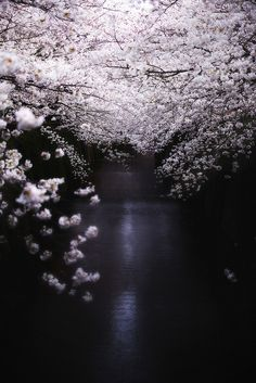 Cherry blossoms river by night - Tokyo, Japan