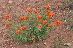 Desert Flowers, Wild Flowers, Arizona Wildflowers, Drought Tolerant Landscape, Root System, Hollyhock, Planting Flowers, Bloom, Leaves