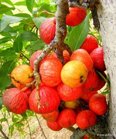 Ficus racemosa or Cluster fig tree is sacred to the Vedic Nakshatra Krittika (3 of 27)