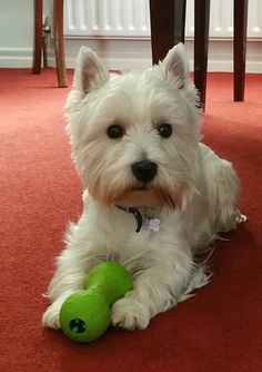 Things I love Westie Puppies For Sale, Baby Puppies, Cute Puppies, Dogs And Puppies, Maltese Puppies, Doggies, West Terrier, Highlands Terrier, West Highland Terrier