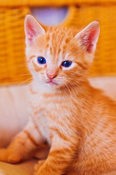 1000 images about orange kittens on pinterest