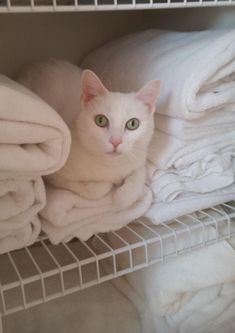 My cat Snowball likes to chill in the linen closet by sinstreet cats kitten catsonweb cute adorable funny sleepy animals nature kitty cutie ca