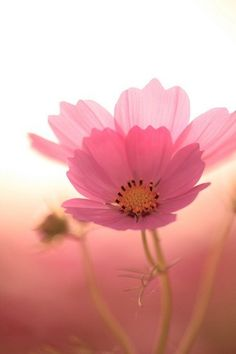 pretty in pink / cosmos Pink Love, Pretty In Pink, Pink Flowers, Beautiful Flowers, Pink Petals, Simply Beautiful, Cosmos Flowers, Flowers Nature, Pink Poppies