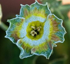 Primula auricula 'Spumoni' flower Lush Garden, Garden Trees, Trees To Plant, Garden Plants, Strange Flowers, Exotic Flowers, Beautiful Flowers, Primula Auricula, Alpine Plants