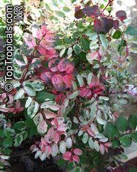 Breynia disticha - Snow Bush  Click to see full-size image