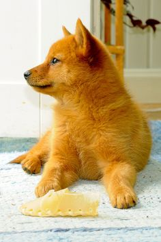 Finnish Spitz. Love you to bits.