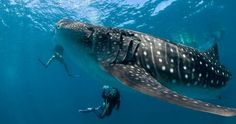 Whale sharks are big as a school bus, with mouths like garage doors. Could you handle swimming with Cancun whale sharks? Do whale sharks eat people? Swimming With Whale Sharks, Shark Diving, Reef Shark, Scuba Diving, Hammerhead Shark, Humpback Whale, Snorkeling, Whale Watching, Western Australia