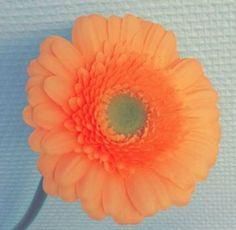 Germini orange  form rund