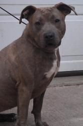 Molly is an adoptable Pit Bull Terrier Dog in Polson, MT. ...