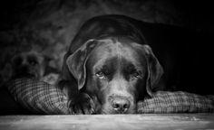 Peter, Labrador Retriever.