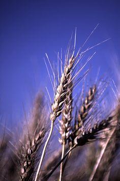 Wheat, Saskatchewan, Canada