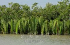 mangrove trees in India | Nipah palm trees , also known as golpata , in the Sundarbans . A ...