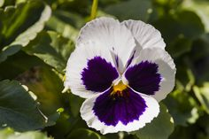 """Ruffled-edge white-and-violet """"Majestic Giants II Series"""" pansy with gold center Spring Colors, Pansies, Garden, Flowers, Plants, Gold, Fun, Garten, Flora"""