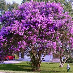 Purple Twilight Crape Myrtle for Sale | Fast Growing Trees ZONES 7 - 9