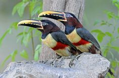 Araçari-castanho (Pteroglossus castanotis)