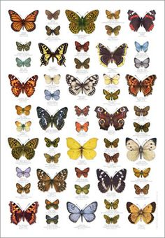 Butterfly Poster and other nature posters Butterfly Images, Vintage Butterfly, Butterfly Print, Butterfly Wings, Illustration Papillon, Butterfly Illustration, Butterfly Identification, Poster Shop, Play Poster