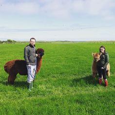 Lovely day for a walk #countrysideuk #alpaca #alpacatrekking #itsinournature #northumberland #glampingnorthumberland