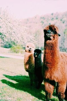 Omy goodness it's so cute! Cute Baby Animals, Farm Animals, Animals And Pets, Funny Animals, Alpacas, Cute Creatures, Beautiful Creatures, Animals Beautiful, Majestic Animals